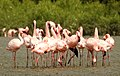 Lesser Flamingo Phoeniconaias minor Courtship Dance by Dr. Raju Kasambe DSCN0567 (6).jpg