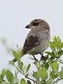 Lesser Grey Shrike, Lanius minor - juvenile - at Kruger Park (13899780985).jpg