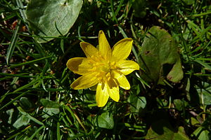 Ancient woodland - Blossom of lesser celandine (Ranunculus ficaria)