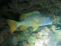 Orange-spotted emperor (Lethrinus erythracanthus)