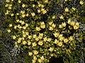 Leucadendron gandogeri Hangklip 02.jpg