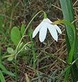 Leucojum trichophyllum 1 cropped.jpg