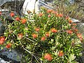 Leucospermum saxosum 2 (4329359091).jpg