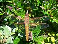 Libellula saturata-Female-4.jpg