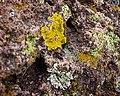 Lichen Growing on Bandelier Tuff (5317930098).jpg