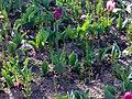 Liliales - Tulipa cultivars - 11.jpg