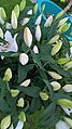Lilium candidum Keukenhof.jpg