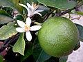 Lime Blossom 2.jpg