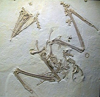 Frigatebird - Fossil of Eocene species Limnofregata azygosternon