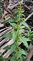 Limnophila aromatica 04.JPG