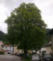 Linde in Kienbichl Nordseite.png
