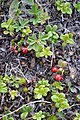 Lingonberry (Vaccinium vitis-idaea) - St. John's, Newfoundland 2019-08-08.jpg