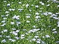 Linseed flax (Linum usitatissimum), near Whitsbury - geograph.org.uk - 1377610.jpg