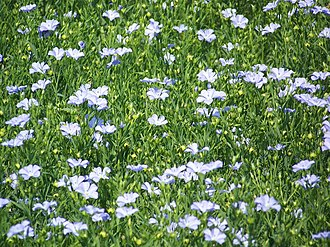 Poultice - Linseed flax (Linum usitatissimum) may be used in a poultice for boils, inflammation and wounds.