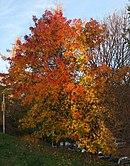 Liquidambar styraciflua tree