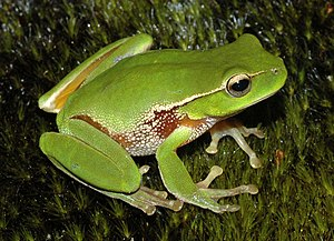 "Leaf green tree frog - A specimen from the ""hybrid zone"" of the leaf green tree frog (Litoria phyllochroa) and southern leaf green tree frog (L. nudidigitus) showing physical characteristics of both species"