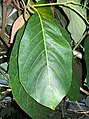 Litsea bindoniana leaves.jpg