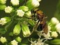 Little Sweat Bee (31802998726).jpg