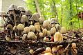 Little poisonous mushrooms.JPG