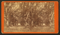 Live Oak Avenue, Bonaventure, from Robert N. Dennis collection of stereoscopic views 14.png