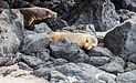 Lobo marino (Zalophus californianus wollebaeki), isla de San Cristóbal, islas Galápagos, Ecuador, 2015-07-25, DD 33.JPG