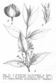 Loganiaceae spp EP-IV2-016.png