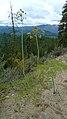 Lomatium dissectum var. dissectum green fruit 4.jpg