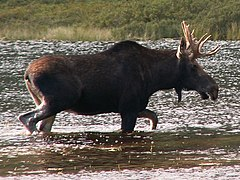 Lonesome-Lake-Moose.jpg