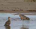 Long-billed Curlew (15450151648).jpg
