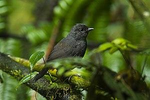 Long-tailed tapaculo - Image: Long tailed Tapaculo Ecuador S4E4271 (16831736745)