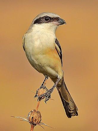 Long-tailed shrike - L. s. erythronotus