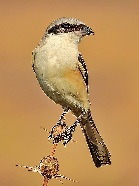 File:Long-tailed shrike or rufous-backed shrike (Lanius schach erythronotus) Photograph by Shantanu Kuveskar.jpg