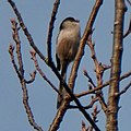 Long-tailed tit on the branch of tree - 1.jpg