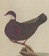 Old coloured painting by George Raper in 1790 depicting the now extinct Lord Howe white-throated pigeon