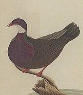 Vecchio dipinto colorato di George Raper nel 1790 raffigurante il piccione dalla gola bianca di Lord Howe ormai estinto