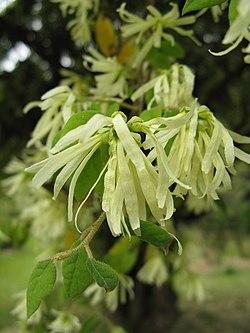 Loropetalum chinense1.jpg