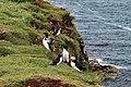 Lunga Treshnish Isles Alca torda 1.jpg