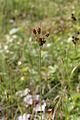 Luzula pallescens Simo, Finland 22.06.2013 2x3.jpg