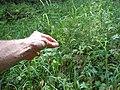 Luzula parviflora (22939569942).jpg