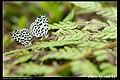 Lycaenidae (5684078130).jpg