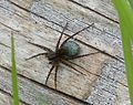 Lycosidae Pardosa species. Female with egg sack - Flickr - gailhampshire.jpg