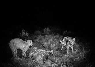 Bobcat - Bobcat confronting a pair of coyotes.