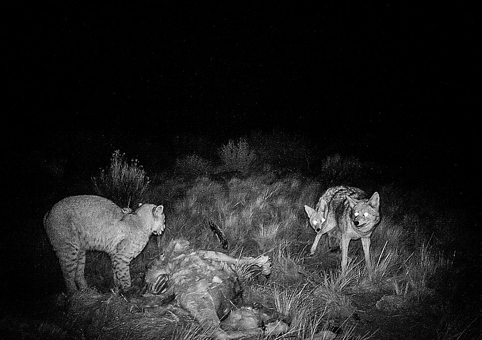 Lynx rufus vs. Canis latrans