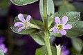 Lythrum . junceum Banks and Sol. (AM AK301547-2).jpg