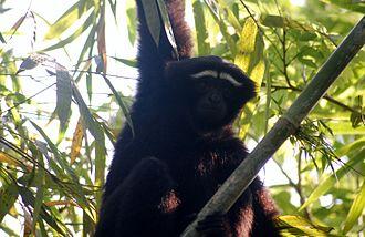 Hoolock gibbon - Western hoolock gibbon