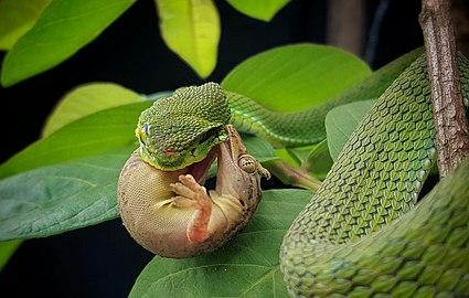 MD.Mehedi hasan green pit viper, দাগিলেজা সবুজ ভোরা। ছবিটা.jpg