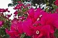 Magenta Bougainvillea flowers in Rizal Park.jpg