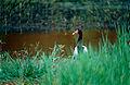 Magpie Goose (Anseranas semipalmata) (9774688481).jpg