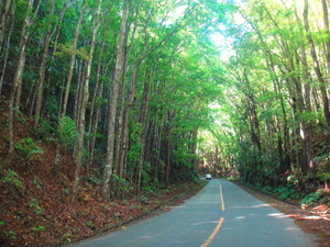 Rajah Sikatuna Protected Landscape - The Rajah Sikatuna forest along the national road in Bilar