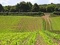 Maize, Stokenchurch - geograph.org.uk - 882099.jpg
